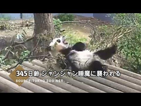 ☆ Cute Panda ☆ #19  シャンシャン睡魔に襲われあくび連発!