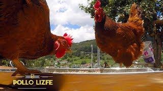 Un día en la granja (Los pollos y los guajolotes conviven felices)