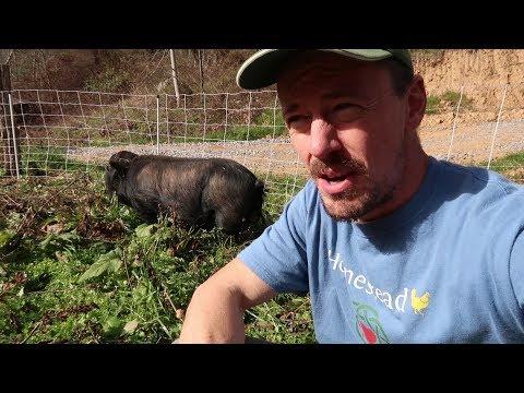What Is A Lard Type Hog? American Guinea Hogs