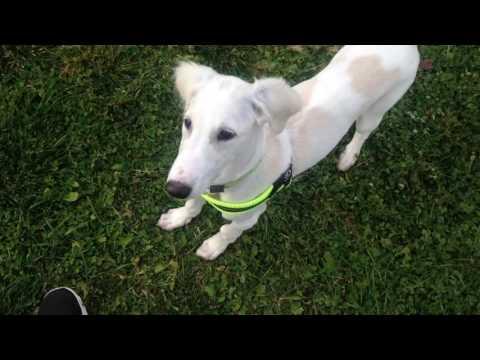Saluki puppy running