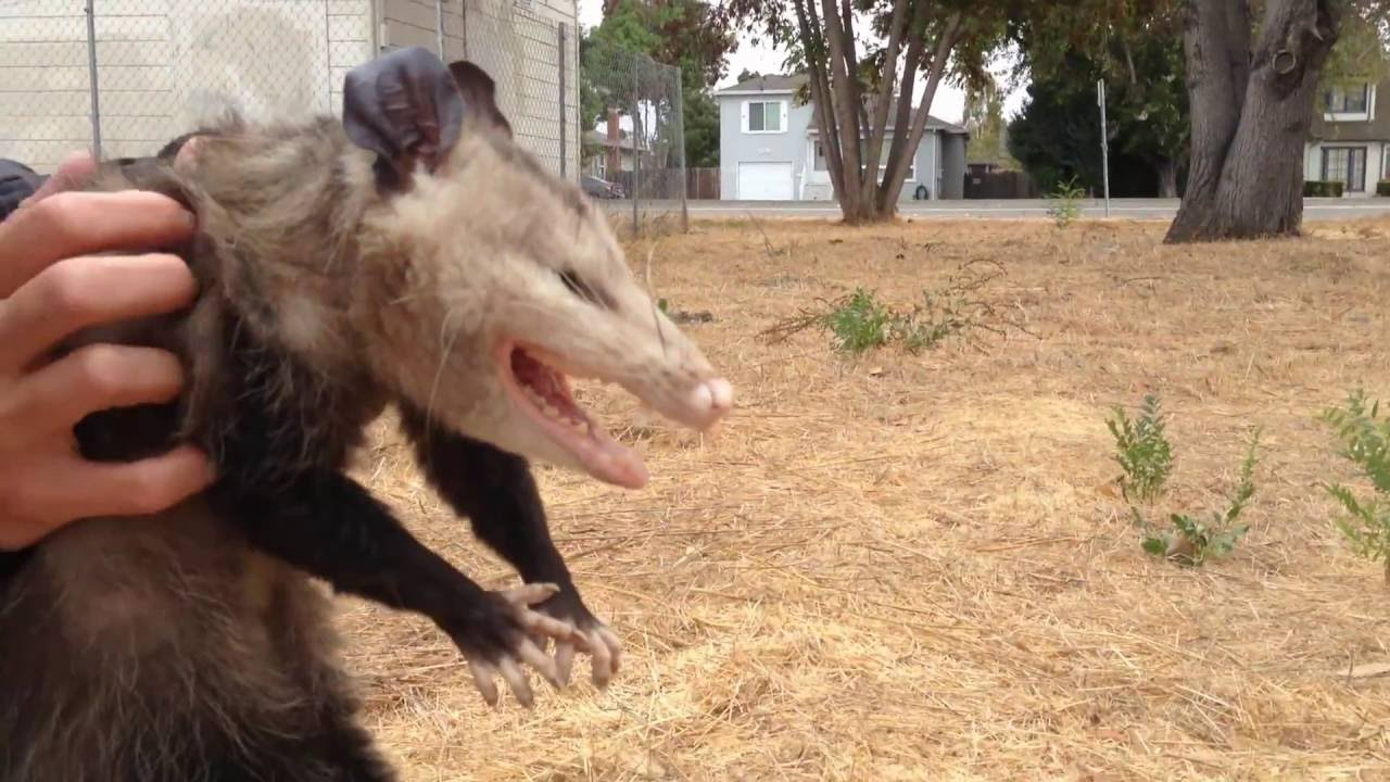 Wild Opossum Playing Dead (Fremont, California)