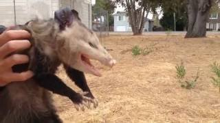 Video Wild Opossum Playing Dead (Fremont, California) download MP3, 3GP, MP4, WEBM, AVI, FLV Agustus 2017