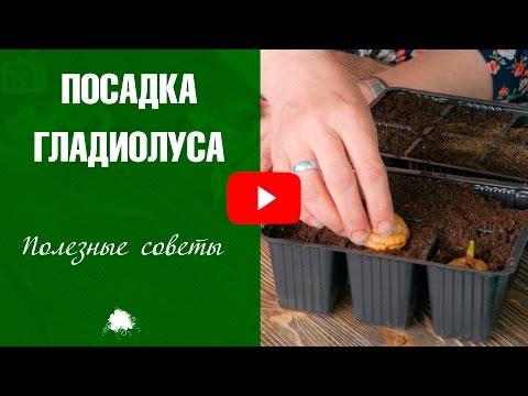 Проращивание гладиолусов ➡ Результат эксперимента!