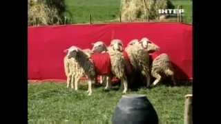 Группа REAL O и овцы в шоу 'Красное или Черное'