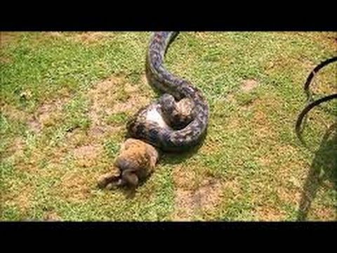 leopard vs python leopard kills python youtube