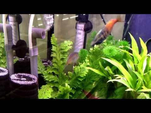 Boesemani Rainbow Fish Breeding / Spawning Ritual