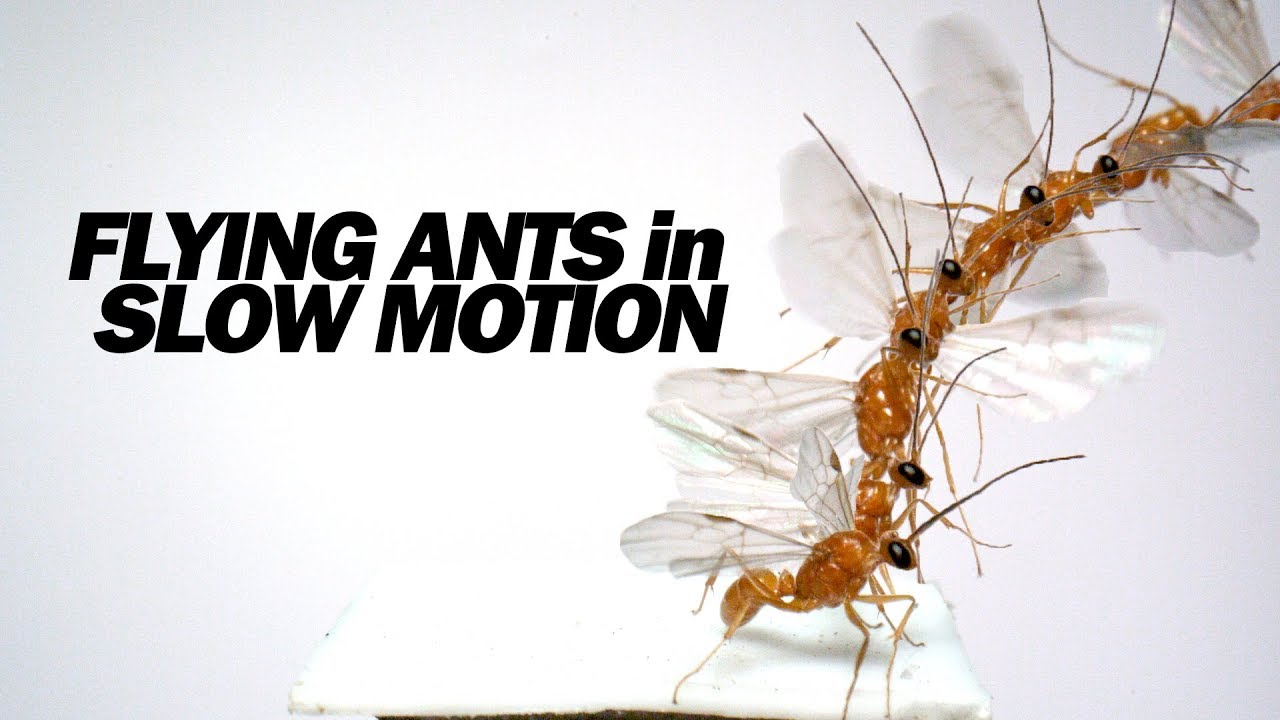 Flying Ants Up Close In Slow Motion Youtube