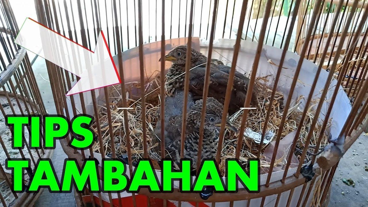 Tips Menjinakkan Burung Puyuh Liar Part 2 Youtube