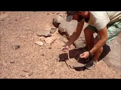 Psammophis schokari, Adrar, Mauritania