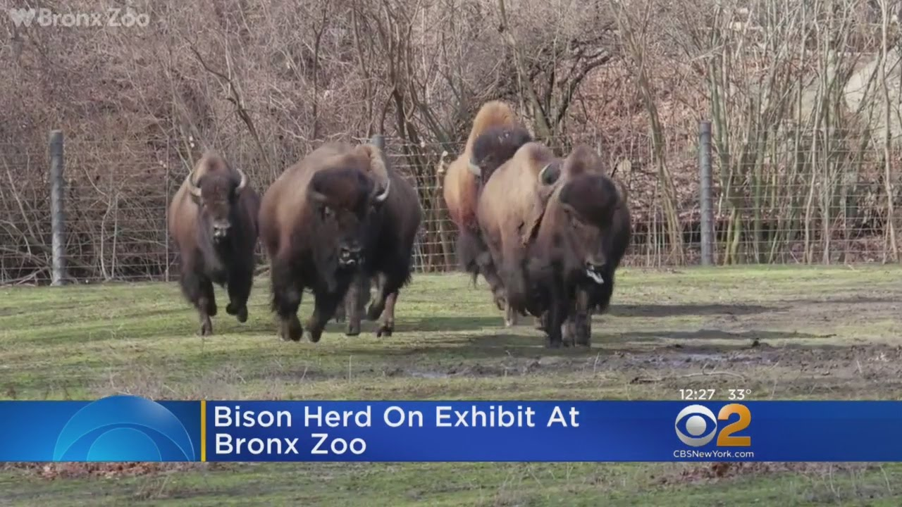 Rare Bison At Bronx Zoo Youtube