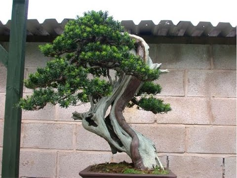 Chinese Yew Bonsai Care Youtube