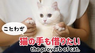 ことわざシリーズ第1弾です! あまり受けなかったら1弾で終了です!笑 個人的には猫の手も借りたいのポムさんが好きです^^ #子猫 #ねこべ...