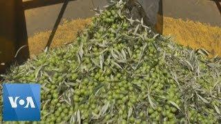 Olive Farmers Harvest Olives in Spain, Despite US Tax