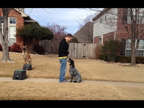 Dudley German Wirehair Pointer Training - Claremore Dog Training