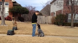 Dudley German Wirehair Pointer Training - Claremore Dog Training