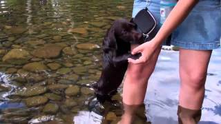 CHOCOLATE LAB PUPPY FIRST TIME SWIMMING!