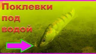 Подводные съемки поклевок ОКУНЯ, СУДАКА. Рыбалка. Ловля на поплавочную удочку. fishing. Поклевки
