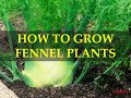 HOW TO GROW FENNEL PLANTS