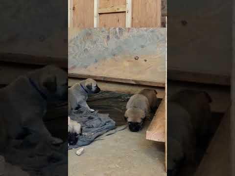 PuppyFinder.com : Anatolian Puppies