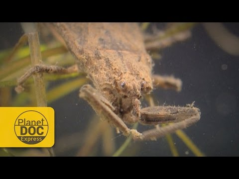 Water Scorpions | Planet Doc Express Documentaries