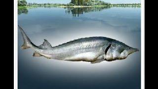 Трофейная рыбалка Белуга.