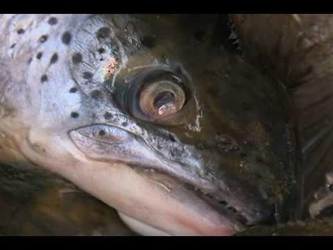 Gene-Modified Salmon Nears Approval