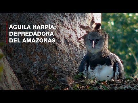 Aguila harpía: Depredadora del Amazonas