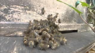日本ミツバチ、スズメバチを熱殺