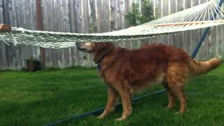 Golden Retriever Vs. Border Collie - A Dog Lesson In Problem Solving