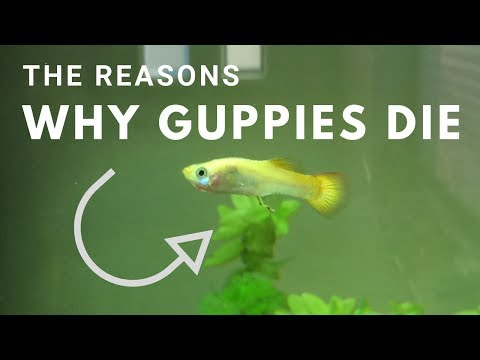 3 Reasons Why Guppies Die