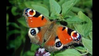 """Читаем книгу """"Мир животных""""  Бабочки."""