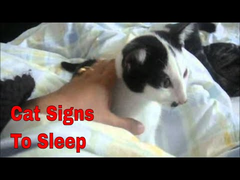 my european short hair cat, prego's sign to sleep