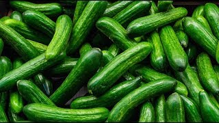 Cucumber Farming and Cucumber Harvesting - Growing Greenhouse Cucumbers - Step-by-Step Guide