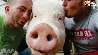 'Mini Pig' Grows ENORMOUS so Dads Move to the Countryside Just for Her | The Dodo