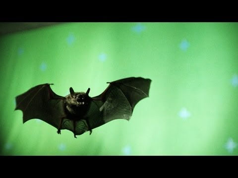 High-Speed Footage of a Bat in Flight