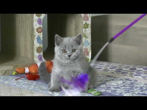 British kitten Sapphire