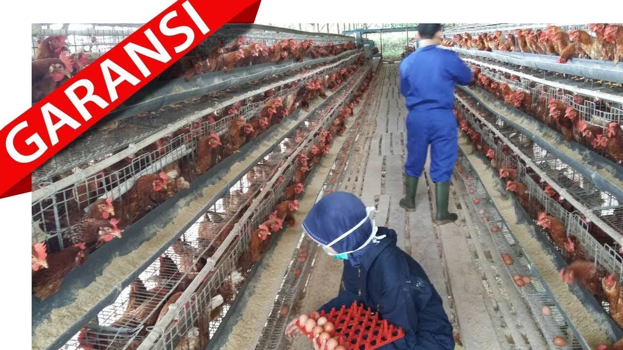 Modal Usaha Ternak Ayam Petelur 1000 Ekor - Tentang Kolam ...