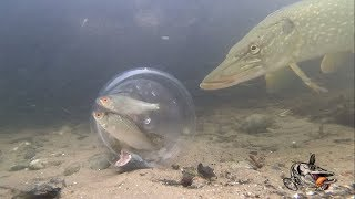 Pike React to Fish in a Bottle!