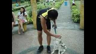Basic Obedience Siberian Husky