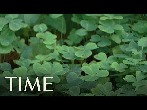 St. Patrick's Day: Here's How The Three-Leaf Clove Clover Became A Symbol Of All Things Irish   TIME