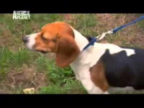 101 Dogs: Beagle
