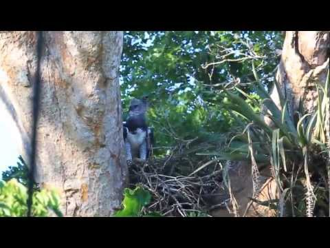 Harpy Eagle, Forest Expeditions, Rio Tambopata, Peru