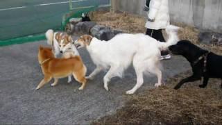 3歳2か月メス。ボルゾイおはぎ&柴犬・忠吉くんは、mix・レオくんと遊...