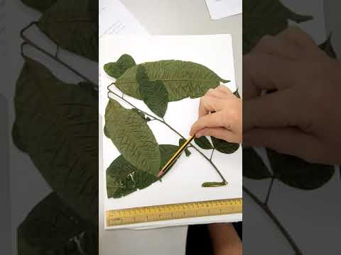 Botanical  description, example with Burkillanthus (Rutaceae)