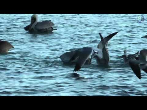 Paul's Planet Presents: Pelican's Pride