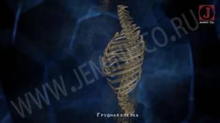 Скелет человека  Строение и функции