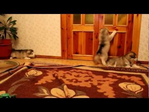 Щенки аляскинского маламута 1 месяц