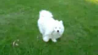 "Samoyed-Kalaska Aussie Idol ""Hades"" - vol 20 daily walk Video"