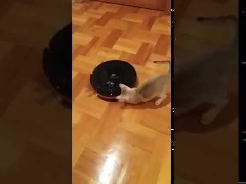 Vacuum cleaner & singapura kitten