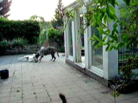 irische wolfshunde vom alpetal bismark youtube. Black Bedroom Furniture Sets. Home Design Ideas